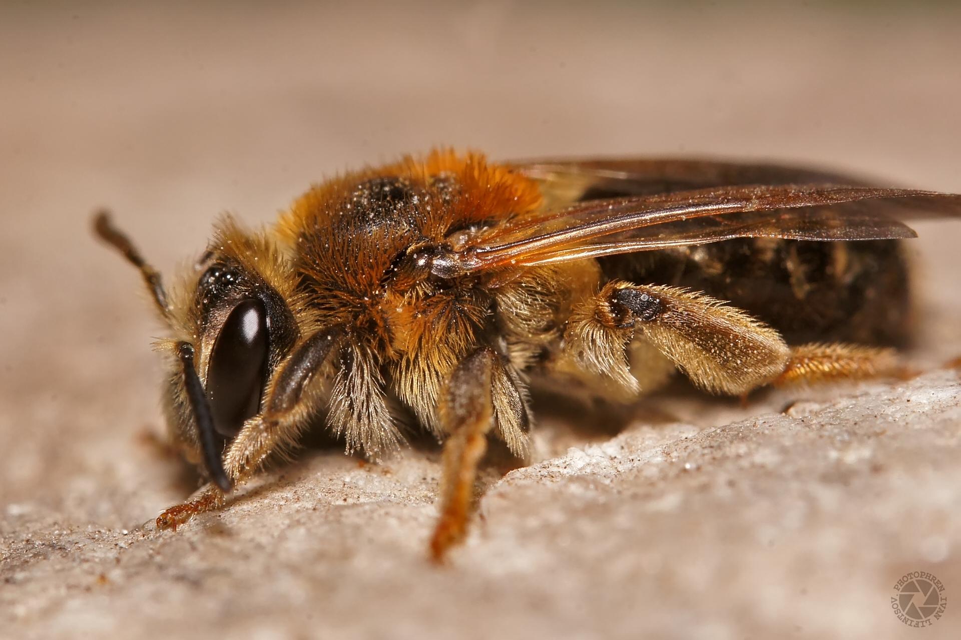 пчела (3)