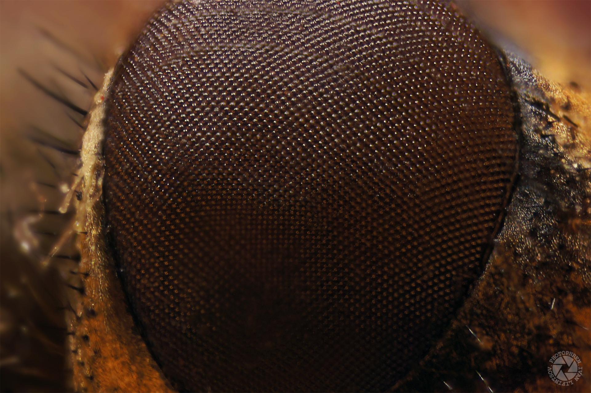 глаз мухи 1920.jpg