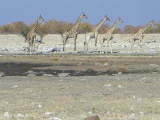 A lineup of giraffes