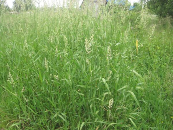 Трава 24 июня