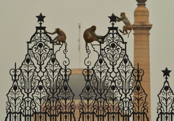 rhesus monkeys palace