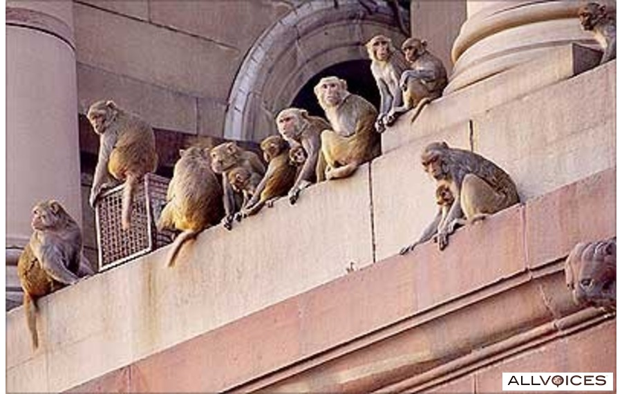 Parliament Monkeys