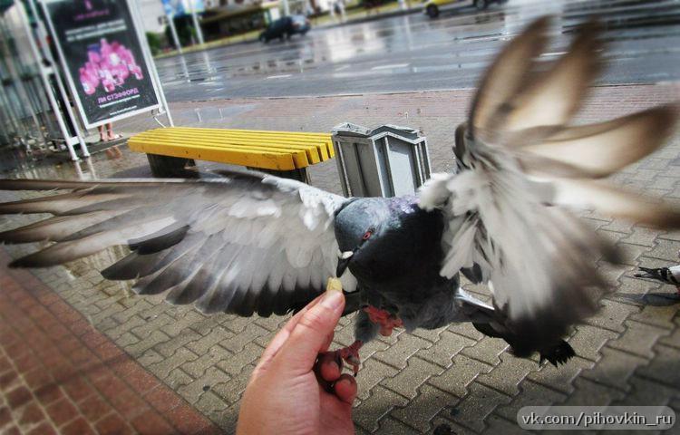 кормим голубя