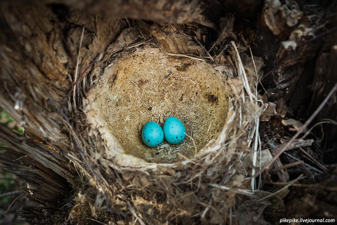 Яйца дрозда