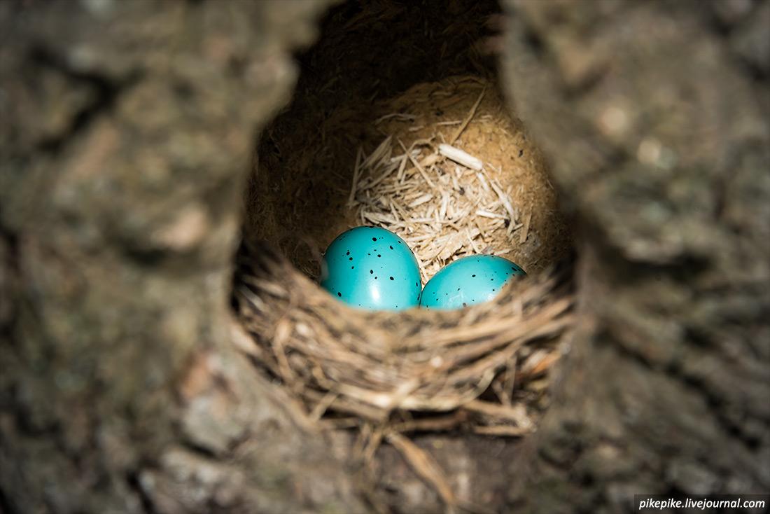 Яйца дрозда в Измайловском лесопарке