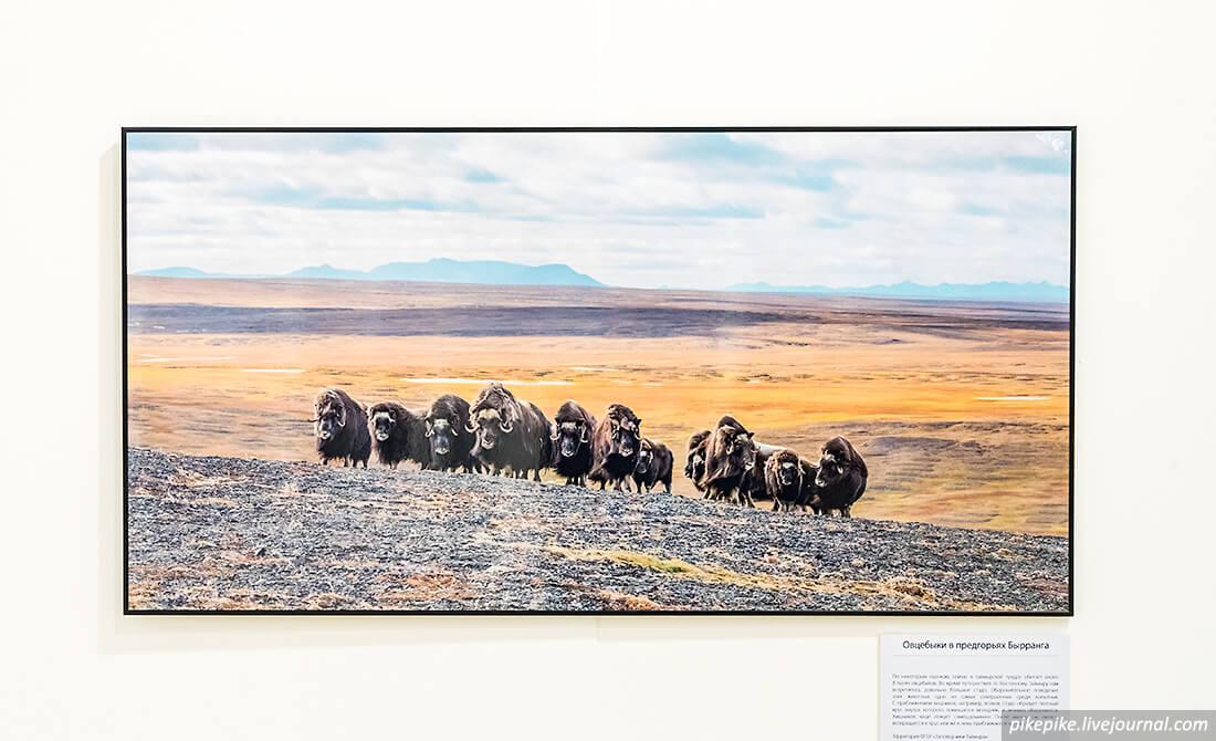 Овцебыки в предгорьях Бырранга