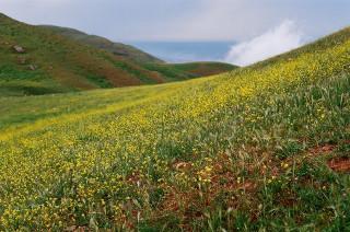 Бешбармаг цветет