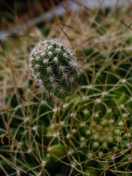 tiny cactus offspring impaled on big cactus