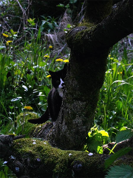 black cat with white breast and toes lurks half-hidden behind moss-covered tree
