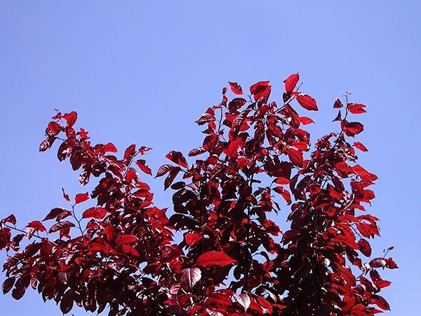 burgundy leaves against bright blue sky