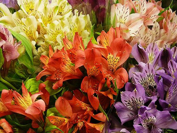 bunches of pink, blush, orange, yellow, purple peruvian dwarf lilies