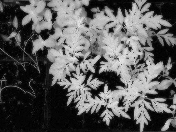 glowy, whitish leaves; in IR green turns white