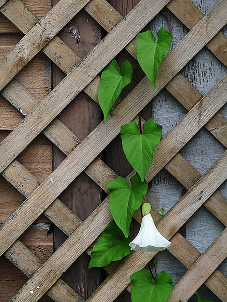 bindweed with one single white flower climbing up a leaning trellis