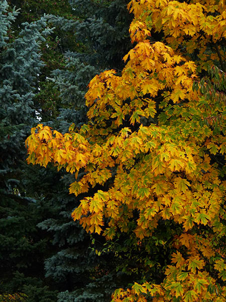 bigleaf maple turning from green to yellow to gold in front of blue spruce