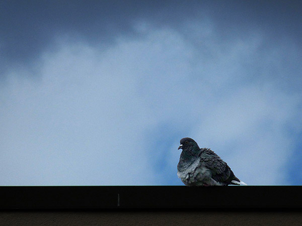 pigeon perched on a roof, the sky still blue, with dark cloud lowering