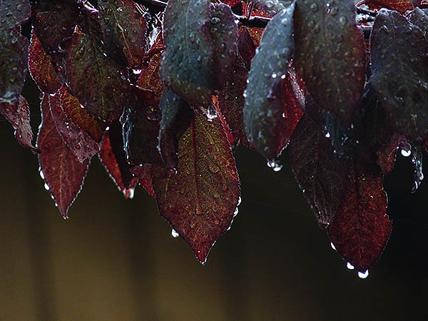 closeup of burgundy foliage of plum tree with rain drops hanging from every place a raindrop could hang