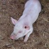 piglet has a stick