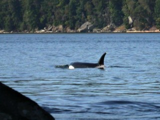 orca in dodd narrows