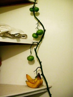 ripening on the vine