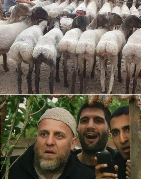 овцегребы