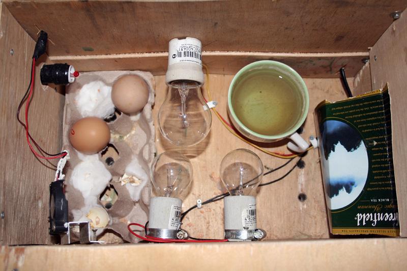Цыплята из инкубатора своими руками