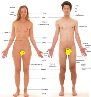 300px-Человеческое_тело
