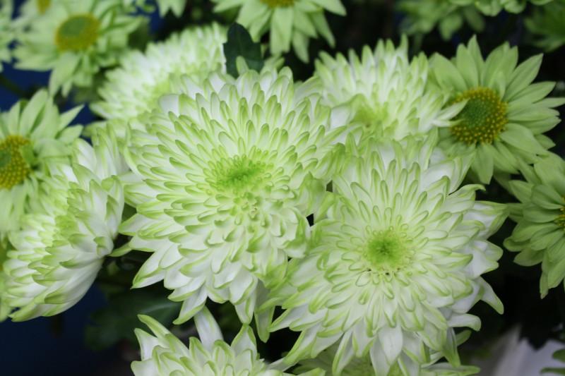 Хризантема куст. HAYDAR (85гр) — Бронирование товара