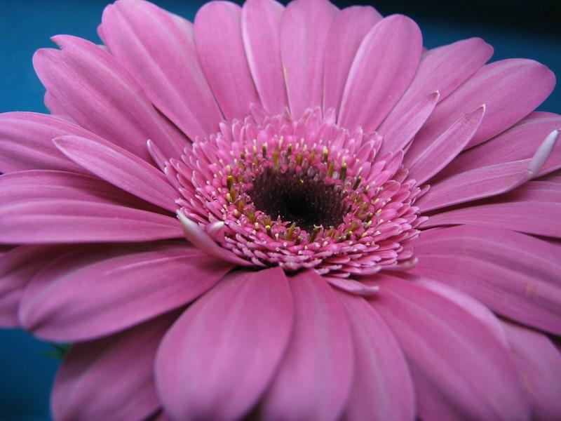 реализовано картинки фиолетовые герберы опушка пришита