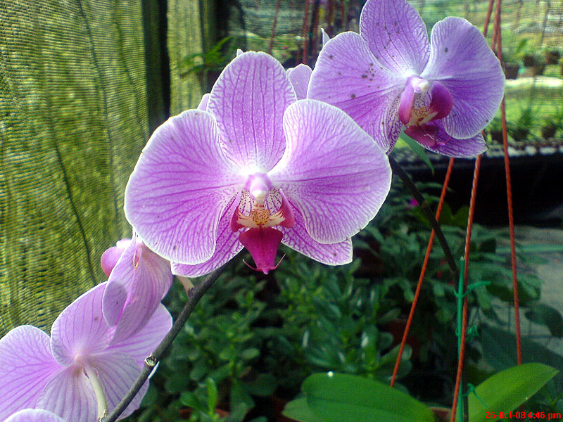 800px-Orchid_Flowers_at_Cameron_Highlands