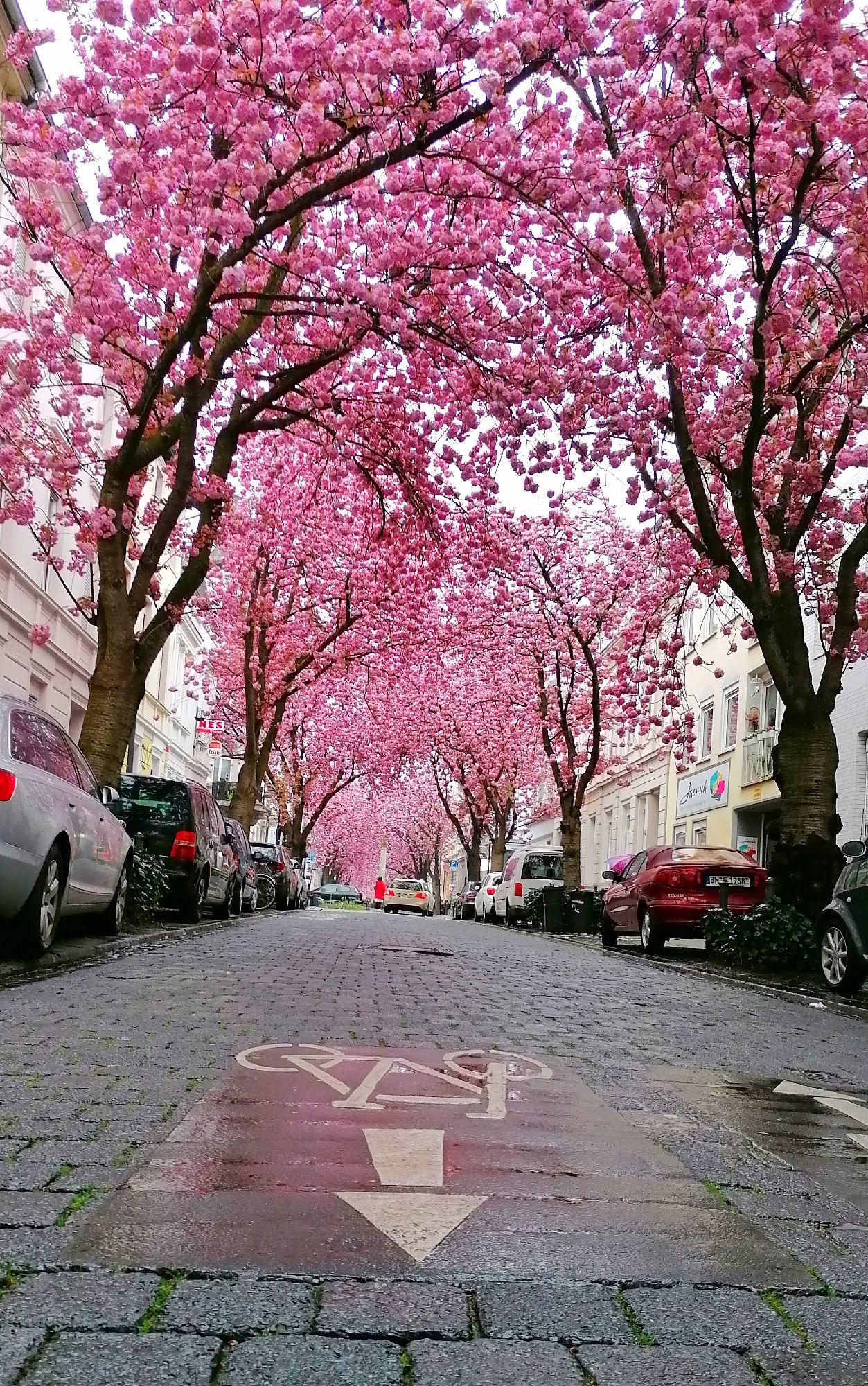 Ханами в Бонне, Германия.
