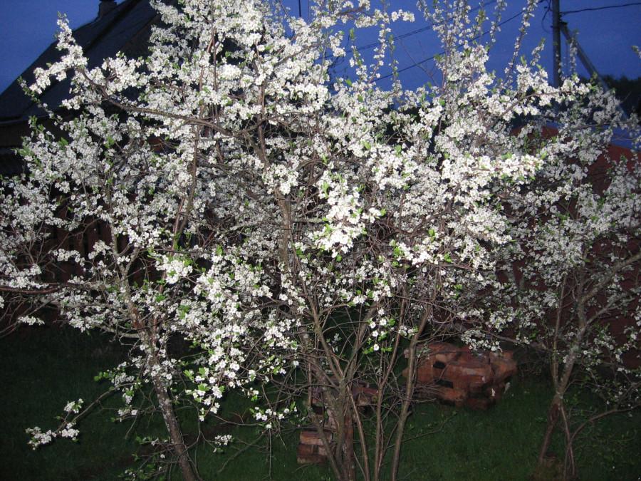154 Цветет тернослив. 10.05.14