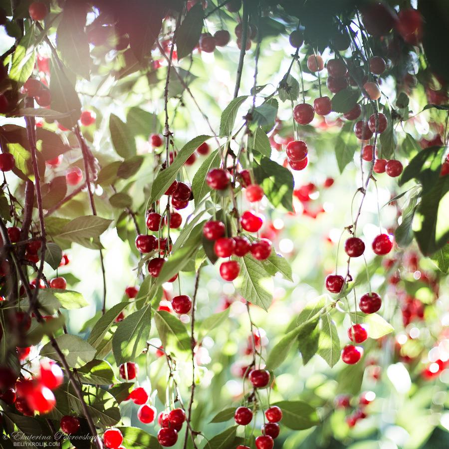 cherry_07