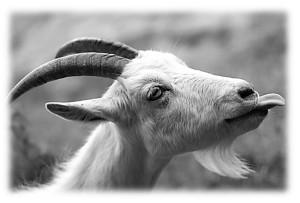коза 2.jpg