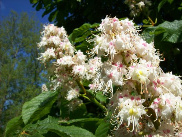 Horse Chestnut flowers