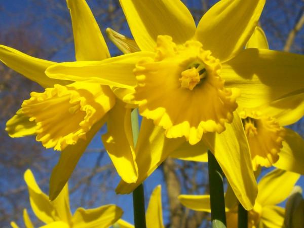 daffodils 010