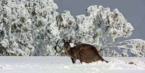1350073372_kenguru-sneg