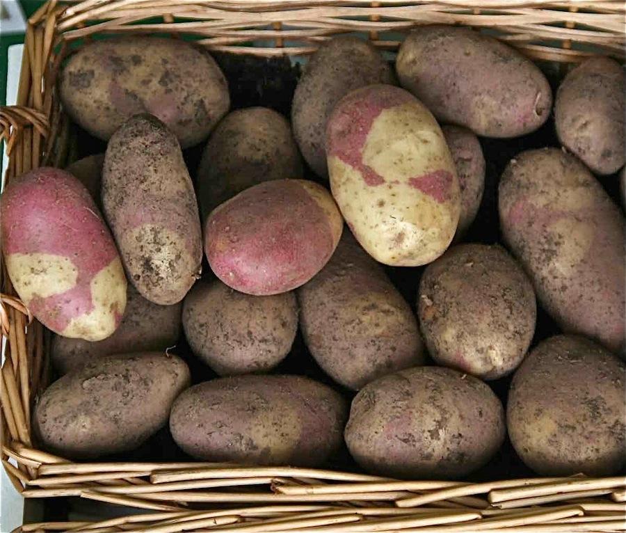 сорт картофеля хозяюшка фото и описание отзывы любой желающий
