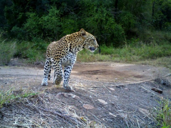 Leopard_camera_trap