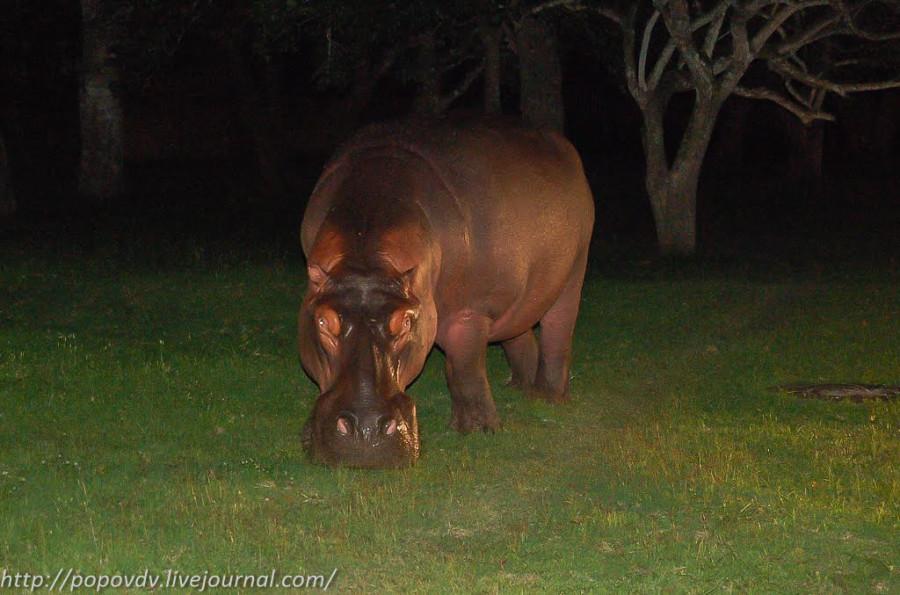 Night_Hippo-3