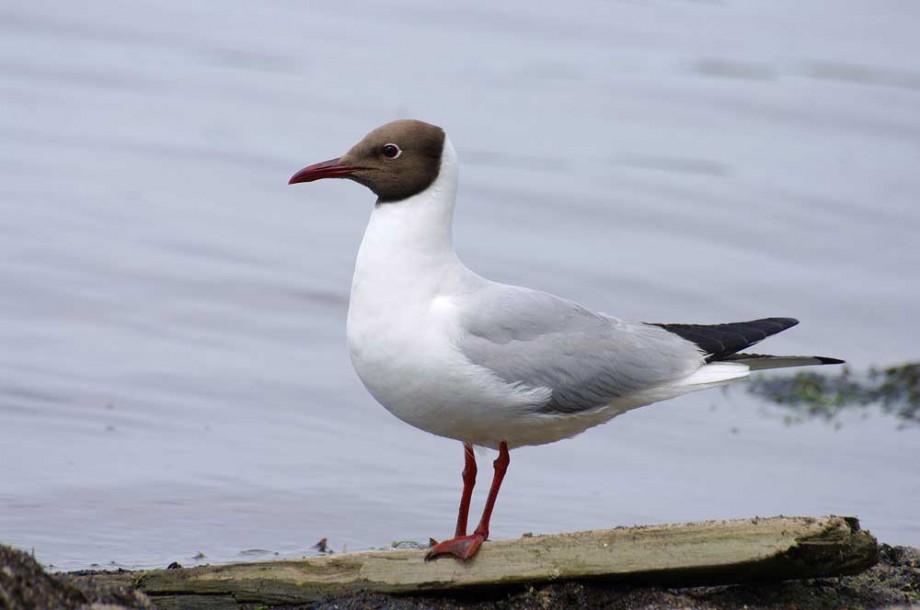 Чайка обыкновенная или озерная