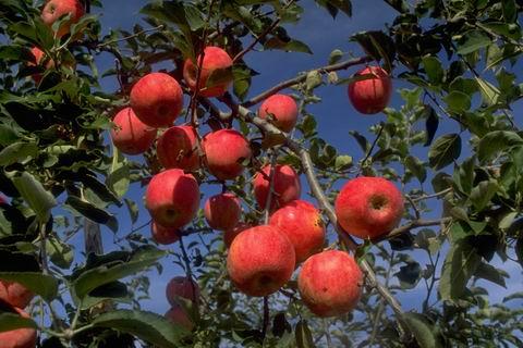 яблоки на потолок R-13