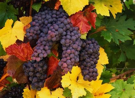 R-14 осенний виноград