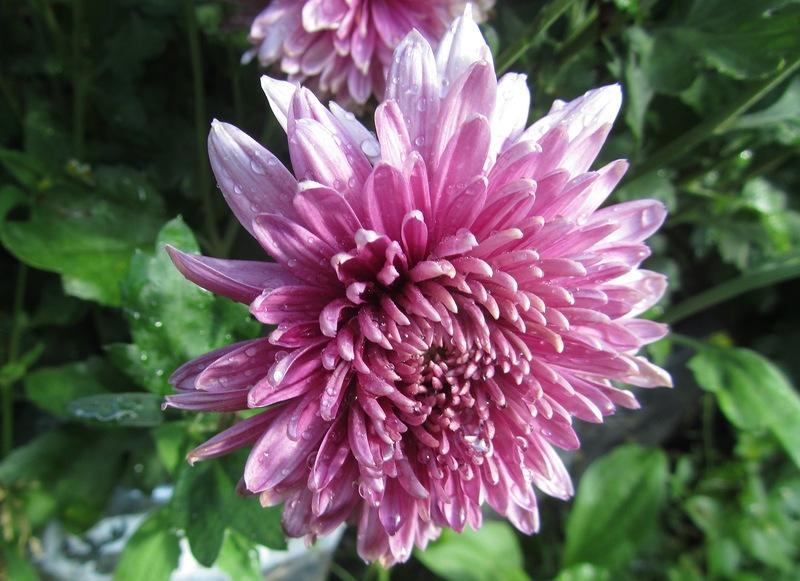 хризантемы--