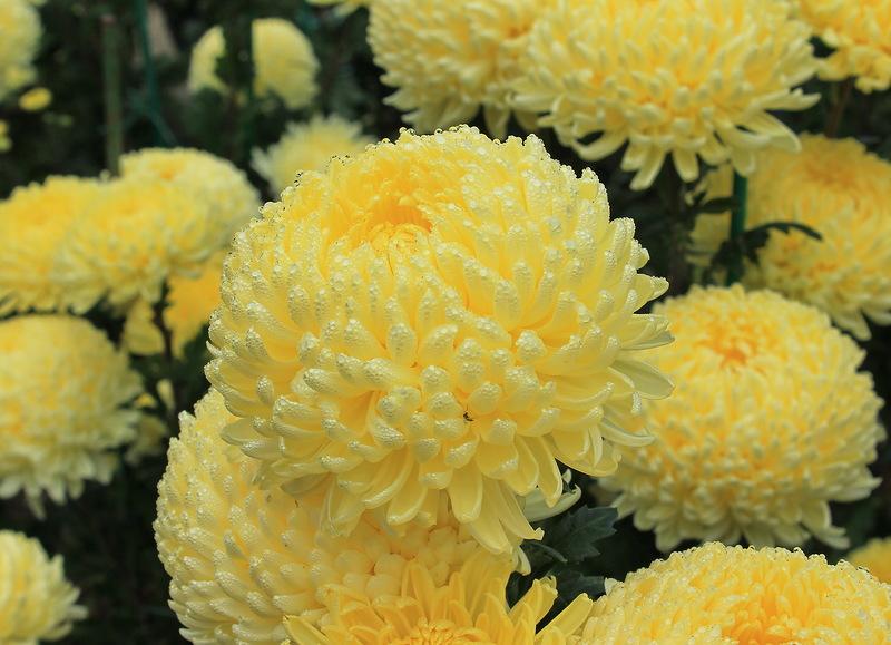 хризантемы----