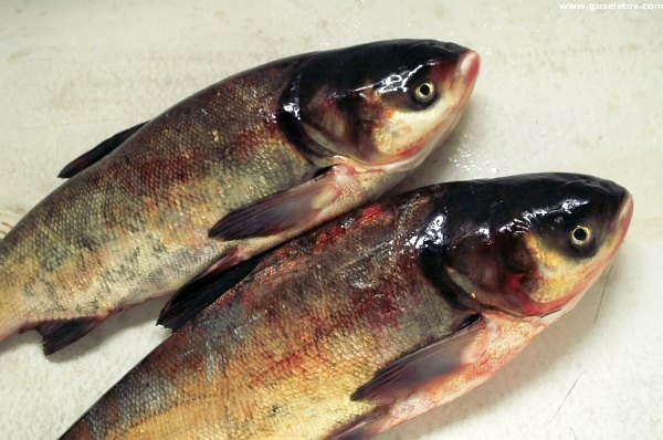 рыба толстолобик польза
