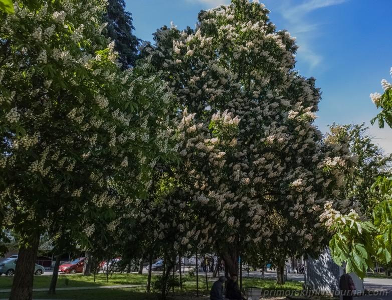 Севастополь Крым цветет каштан