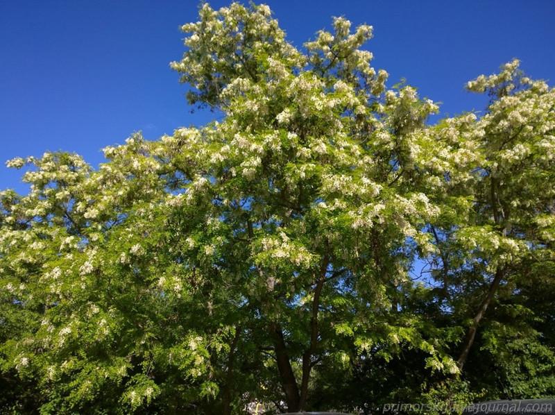 Севастополь Крым цветет белая акация