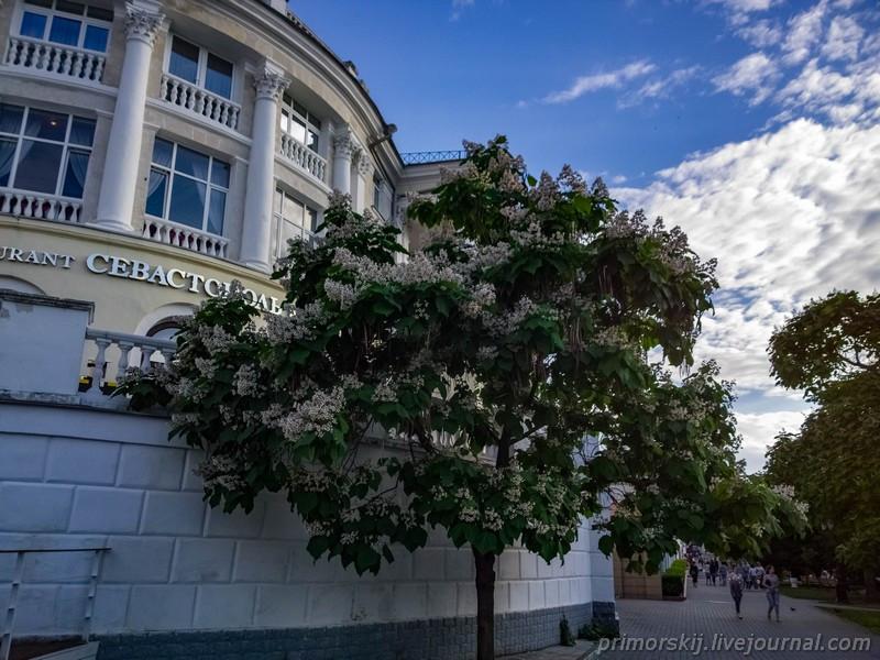 Севастополь Крым цветет катальпа