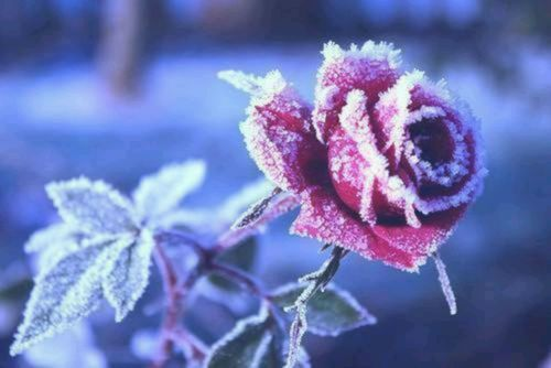150008-Frozen-Winter-Rose.jpg