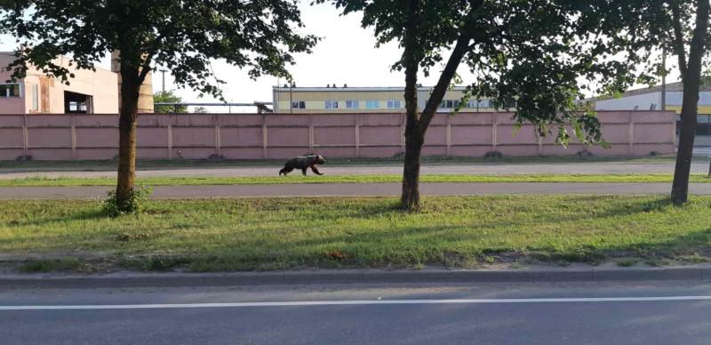 Медведи в Валга. (Фото: Общество охотников Эстонии.)